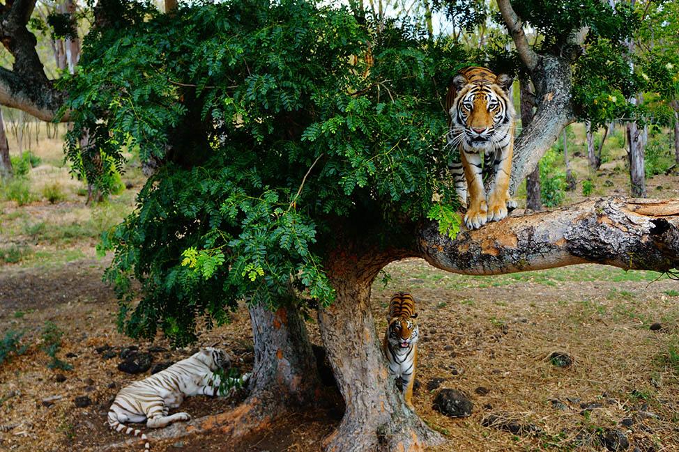 tigers in mauritius
