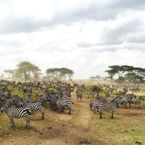 A Zebra Obsession