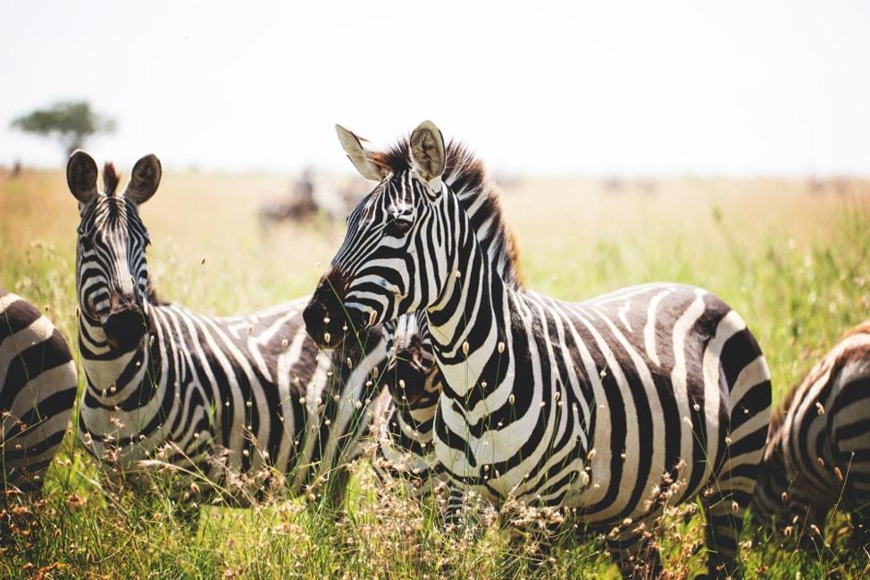 a-zebra-obsession-2