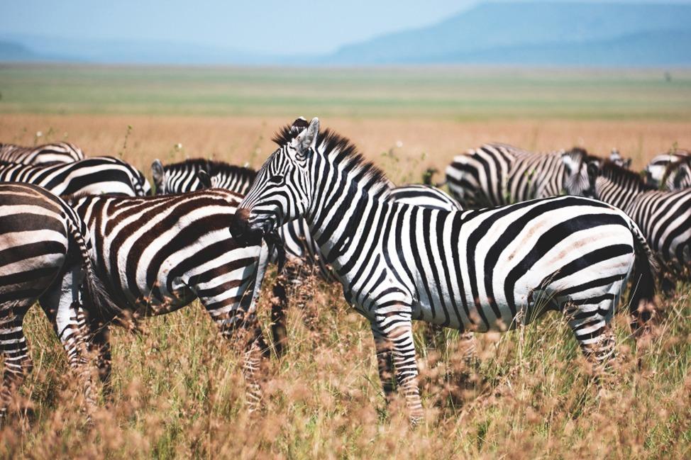 a-zebra-obsession-9