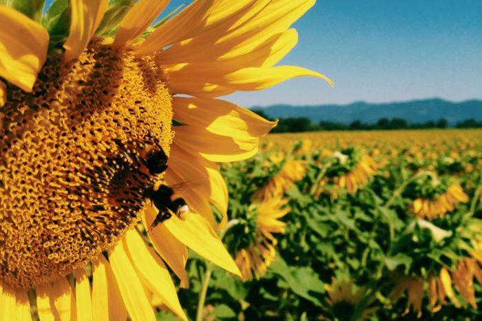tuscany sunflowers print