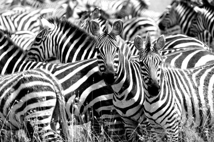 zebra herd print
